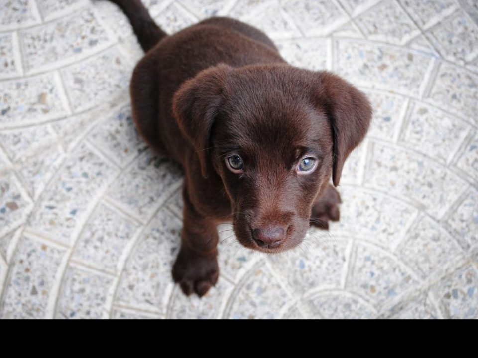 Personality of the labrador dog