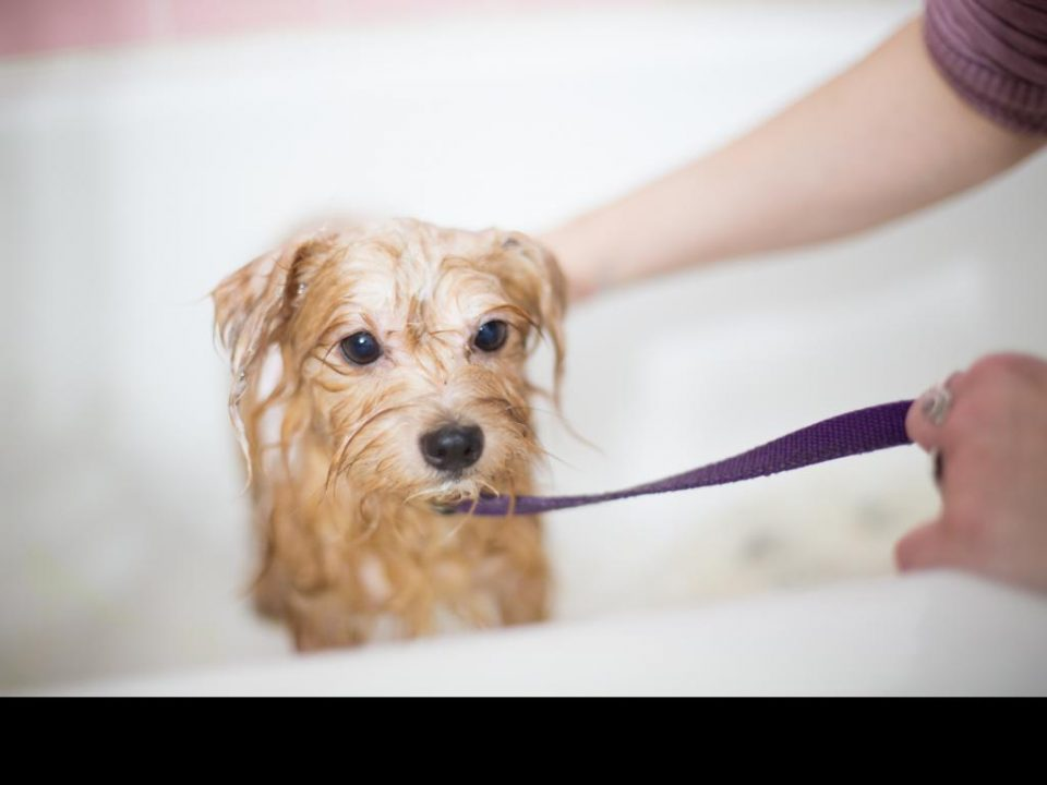 Capstar intended for dogs is an effective method for remedy pet dogs fleas and also ticks